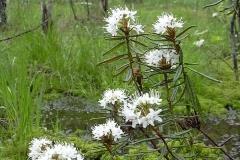Багульник болотный