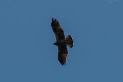 Орел-карлик