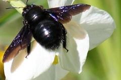Пчела-плотник.