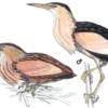 Выпь малая — Ixobrychus minutus