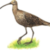 Кроншнеп большой — Numenius arquata