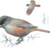 Кукша — Perisoreus infaustus