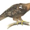 Могильник — Aquila heliaca Savigny