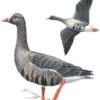 Пискулька — Anser erythropus
