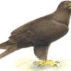 Подорлик большой — Aquila clangа