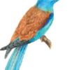 Сизоворонка — Coracias garrulus