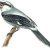 Сорокопут серый обыкновенный — Lanius excubitor
