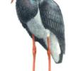 Аист черный — Ciconia nigra