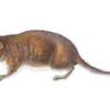 Белозубка малая — Crocidura suaveolens