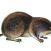Бурозубка крошечная — Sorex minutissimus