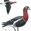 Казарка краснозобая — Branta ruficollis