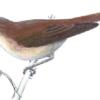 Камышовка дроздовидная —  Acrocephalus arundinaceus