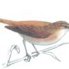 Камышовка тростниковая —  Acrocephalus scirpaceus