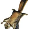 Летяга — Pteromys volans