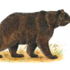 Медведь бурый — Ursus arctos