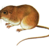Мышь-малютка — Micromys minutus