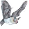 Ночница наттерера — Myotis nattereri
