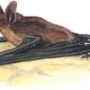 Ночница прудовая — Myotis dasycneme