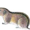 Пеструшка обыкновенная — Lagurus lagurus
