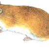 Полевка красная — Clethrionomys rutilus