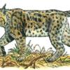 Рысь — Lynx lynx