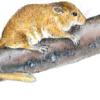 Соня орешниковая — Muscardinus avellanarius