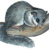 Соня-полчок — Myoxus glis