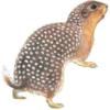 Суслик крапчатый — Spermophilus suslicus