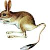 Тушканчик большой —  Allactaga major