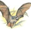Ушан бурый —  Plecotus auritus