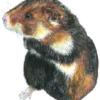 Хомяк обыкновенный — Cricetus cricetus