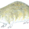 Хомячок серый — Cricetulus migratorius