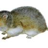 Полевка пашенная — Microtus agrestis