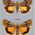 Криптокала каемчатая — Cryptocala chardinyi