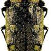 Златка огненнобрюхая — Chrysobothris igniventris