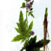 Алтей лекарственный — Althaea officinalis