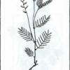 Астрагал австрийский — Astragalus austriacus