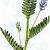 Астрагал бороздчатый — Astragalus sulcatus