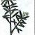 Багульник болотный — Ledum palustre
