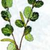 Береза приземистая — Betula humilis