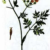 Бутень опьяняющий — Chaerophyllum temulum