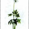 Ветреница лесная — Anemone sylvestris