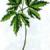 Ветреничка алтайская — Anemonoides altaica