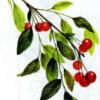 Вишня кустарниковая — Cerasus fruticosa