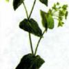 Володушка золотистая — Bupleurum longifolium
