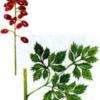 Воронец красноплодный — Actaea erythrocarpa