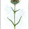 Гвоздика Андржеевского — Dianthus andrzejowskianus