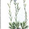 Гвоздика песчаная — Dianthus arenarius