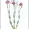Гвоздика пышная — Dianthus superbus