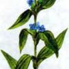 Горечавка перекрестнолистная — Gentiana cruciata